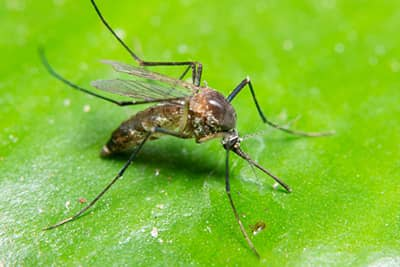 Mosquito Control in St. Louis, MO