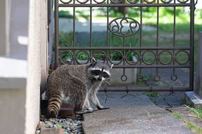 Raccoon outside a residential house