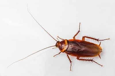 Cockroach Removal in St. Louis, MO