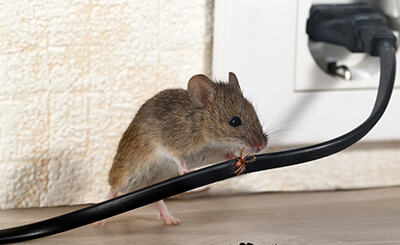 Rodent Control St. Louis
