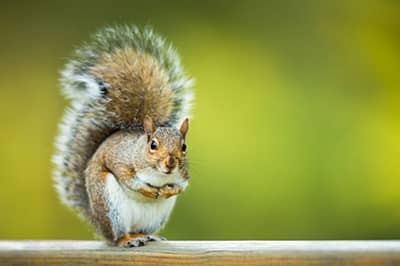 Squirrel Removal Services in St. Louis, MO