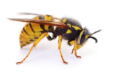 Yellow Jacket Control in St. Louis, MO